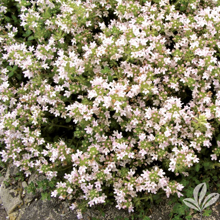 Thyme, Pink Creeping