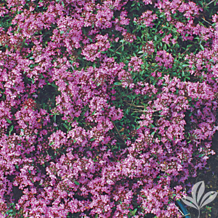 Thyme, Red Creeping