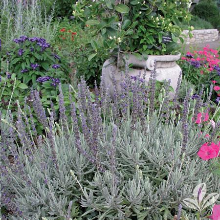 Lavender, Goodwin Creek