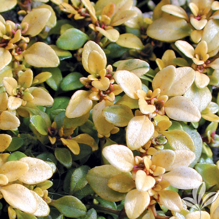Thyme, Archers Gold