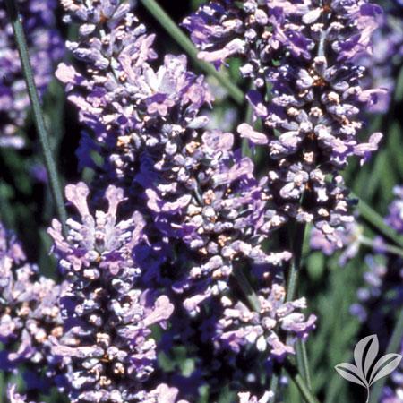 Lavender, Provence