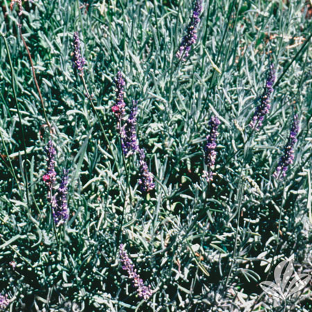 Lavender, Fred Boutin
