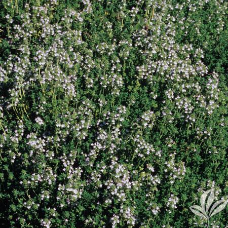 Thyme, Lavender