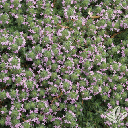thyme, Wooly