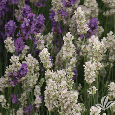 Lavender, Edelweiss