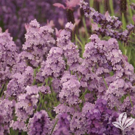 Lavender, Melissa Lilac