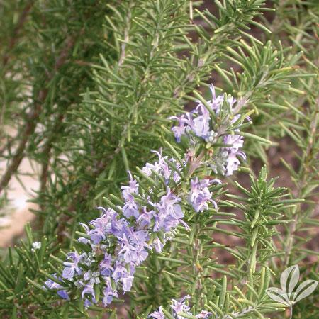 Rosemary, Arp