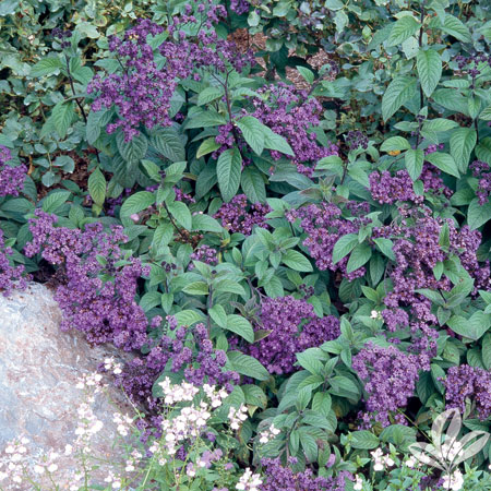 Heliotrope, Fragrant Delight