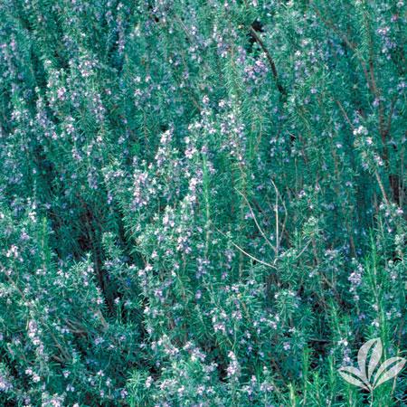 Rosemary, Blue Spire