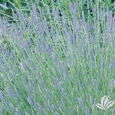 Lavender, Dilly Dilly