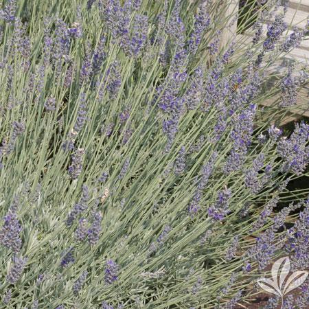 Lavender, Platinum Blonde