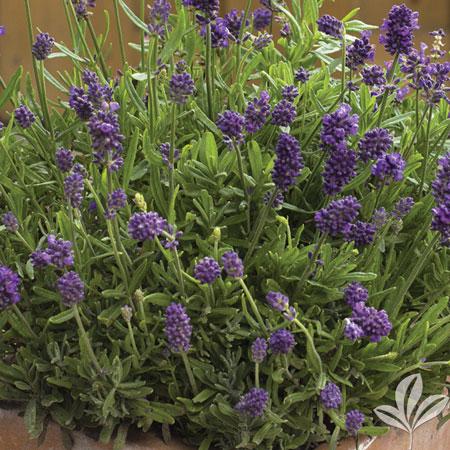 lavender mini blue lavandula angustifolia mini blue
