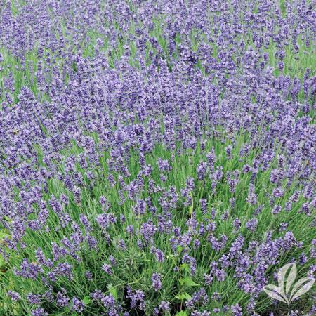 Lavender, Phenomenal