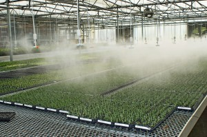 Misting the plants in the greenhouse