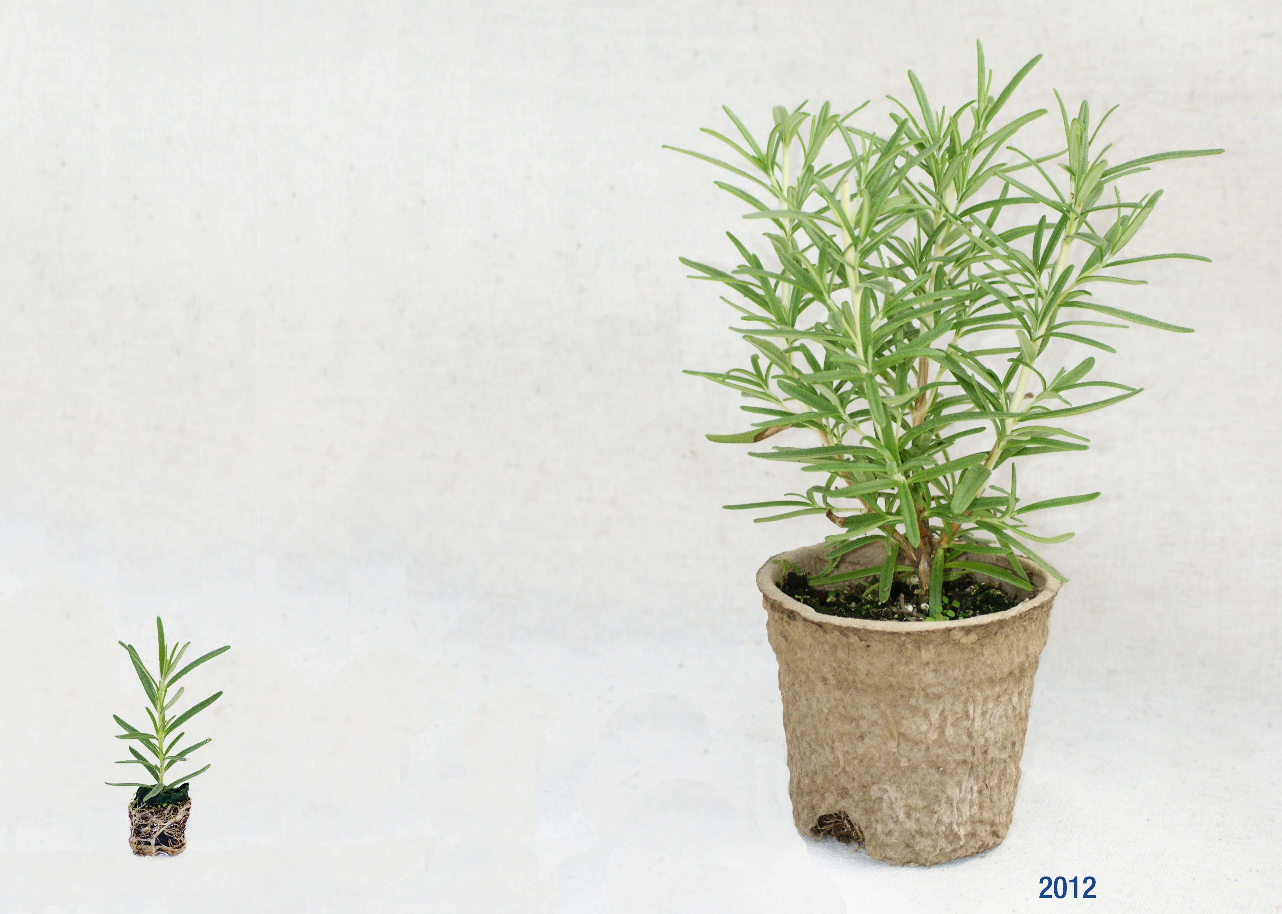 Rosemary, Upright