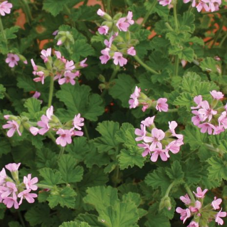Scented Geranium Attar Of Rose Silverleaf Greenhouses