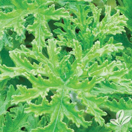 Sctd Geranium, Lemon