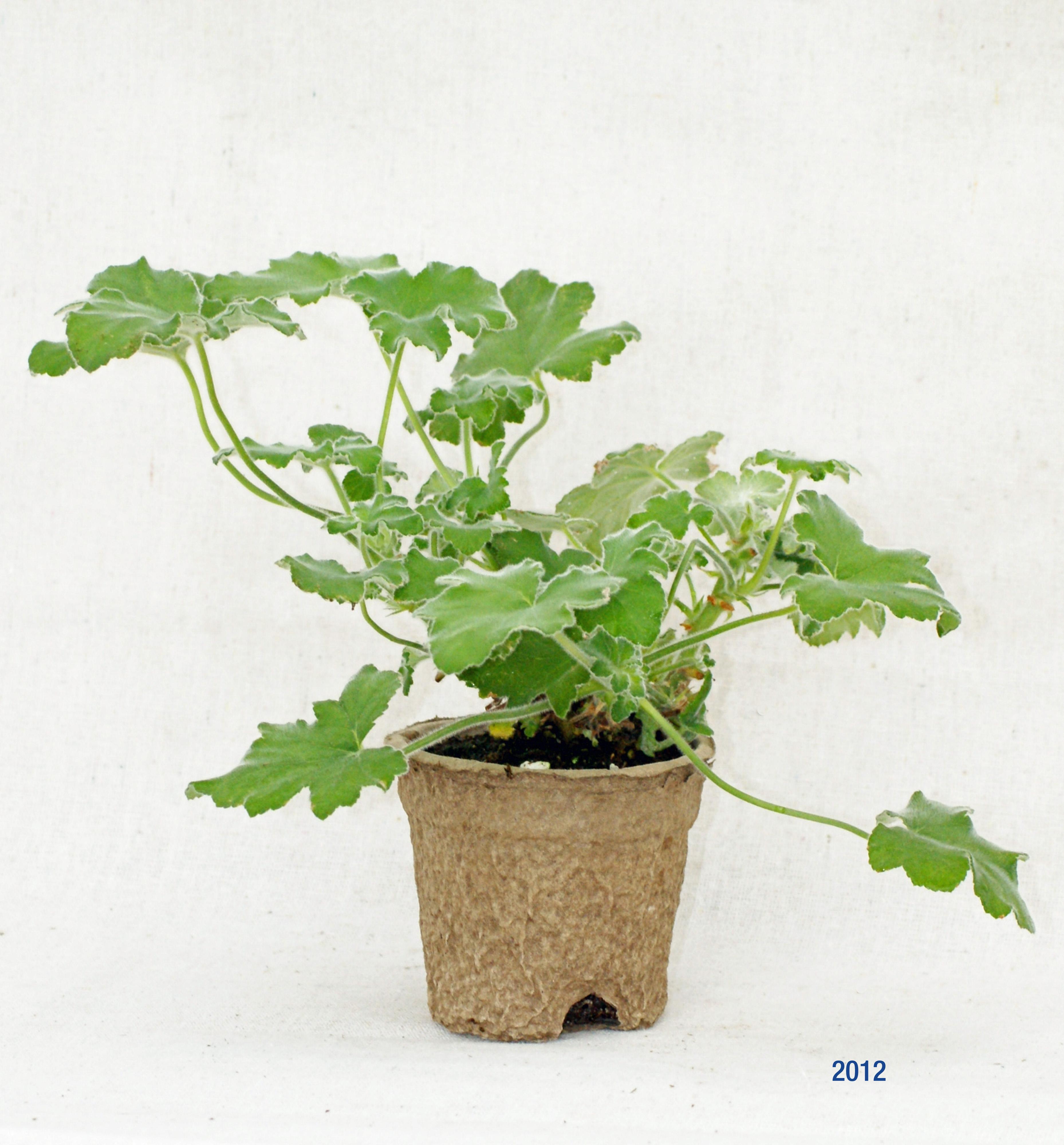 Peppermint Scented Geranium