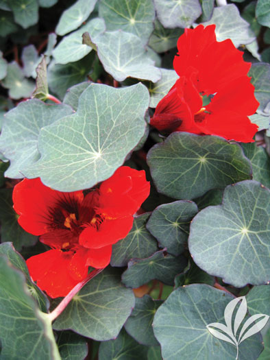 Nasturtium, Empress of India