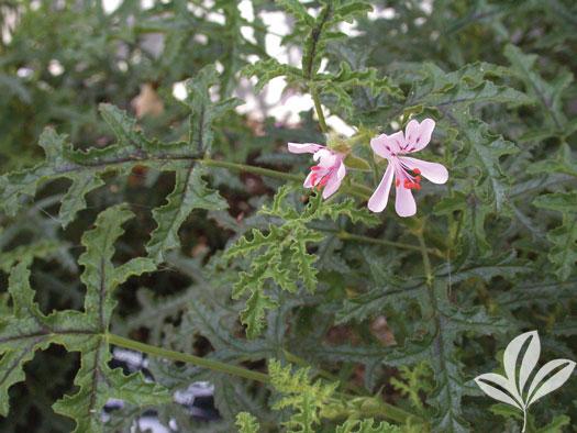 Scented Geranium, Pine