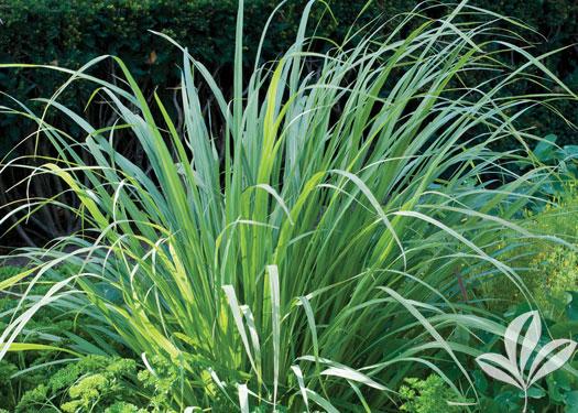 Lemon Grass, West Indian