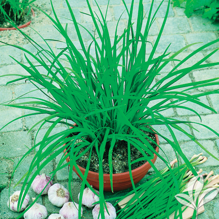 Chives - Garlic 'Geisha'